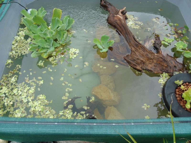 Projet et réalisation d'un bassin pour stenotherus odoratus Dsc03438