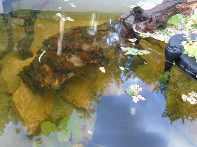Projet et réalisation d'un bassin pour stenotherus odoratus Dsc03441