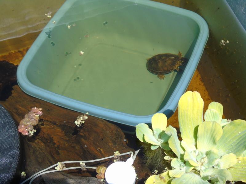 Projet et réalisation d'un bassin pour stenotherus odoratus Dsc03453