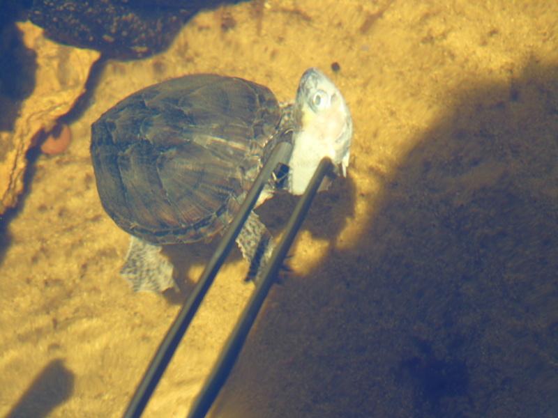 Projet et réalisation d'un bassin pour stenotherus odoratus Dsc03551