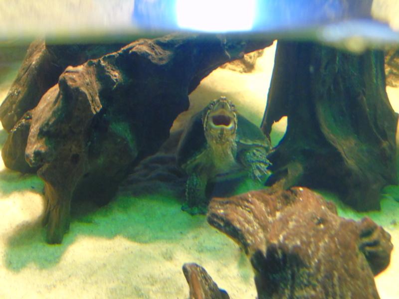 Projet et réalisation d'un bassin pour stenotherus odoratus Dsc03662