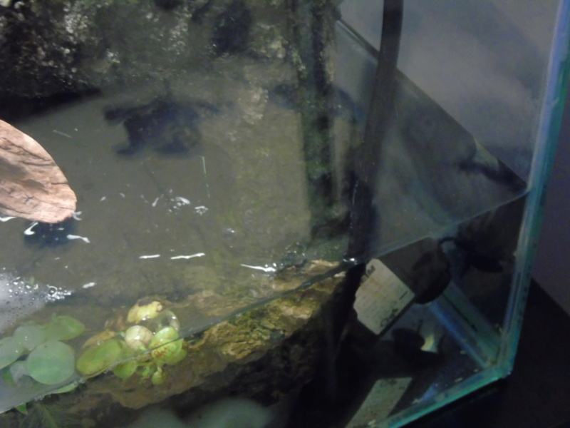 Aquarium des deux petites odoratus avec poissons. - Page 2 Dsc04531