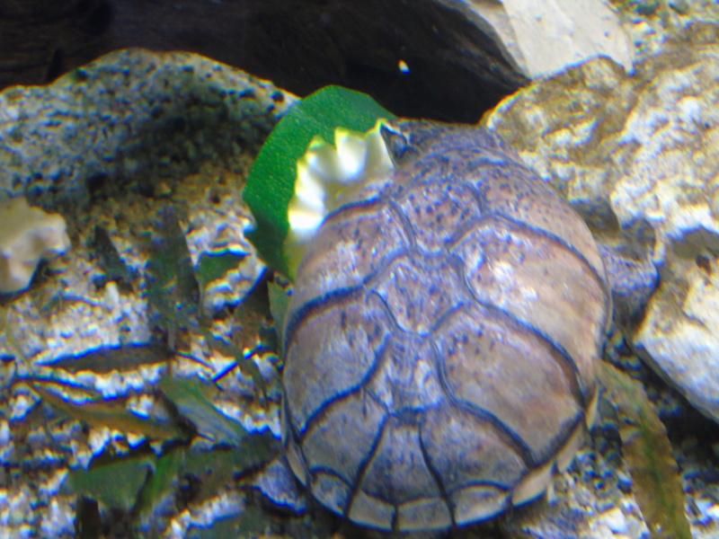 Aquarium des deux petites odoratus avec poissons. - Page 2 Dsc04628