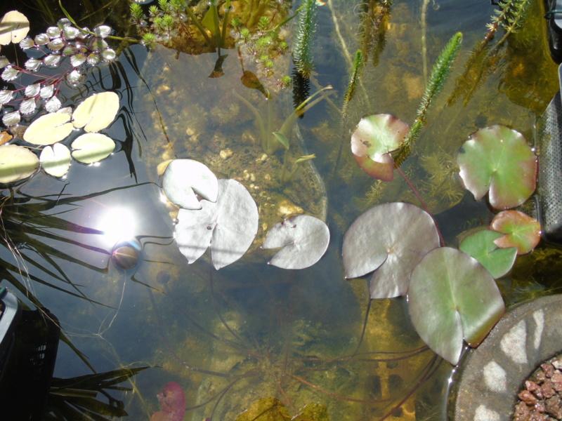 Le bassin des notropis chrosomus Dsc04916