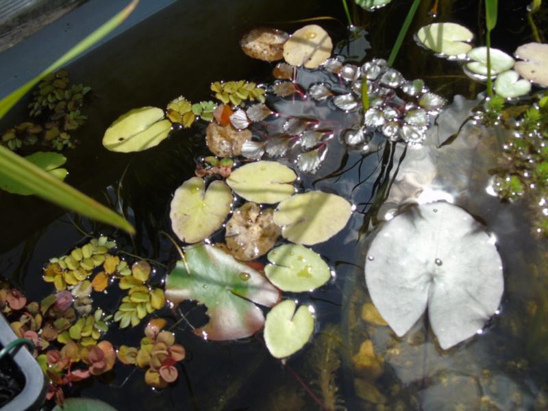 Le bassin des notropis chrosomus Dsc04917