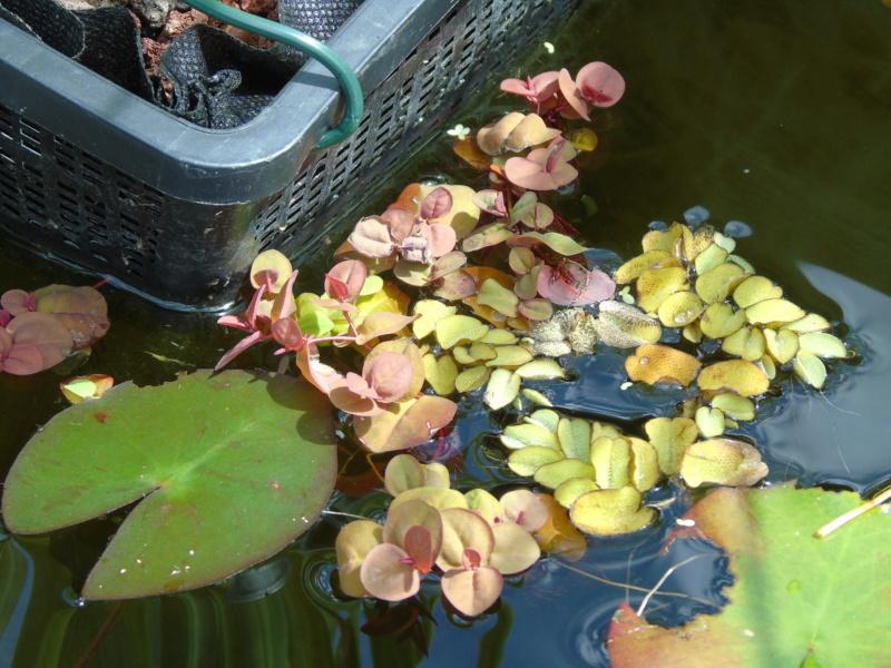 Le bassin des notropis chrosomus Dsc04918