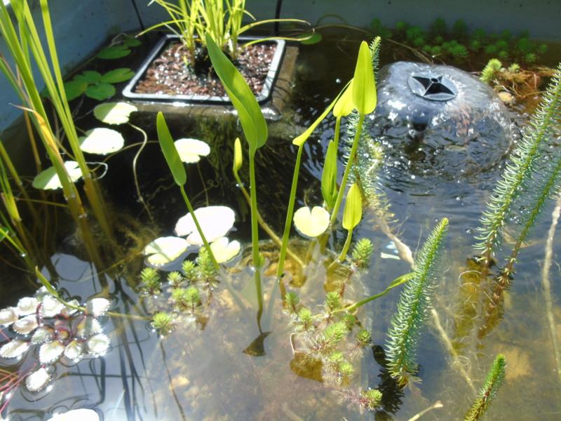 Le bassin des notropis chrosomus Dsc04919