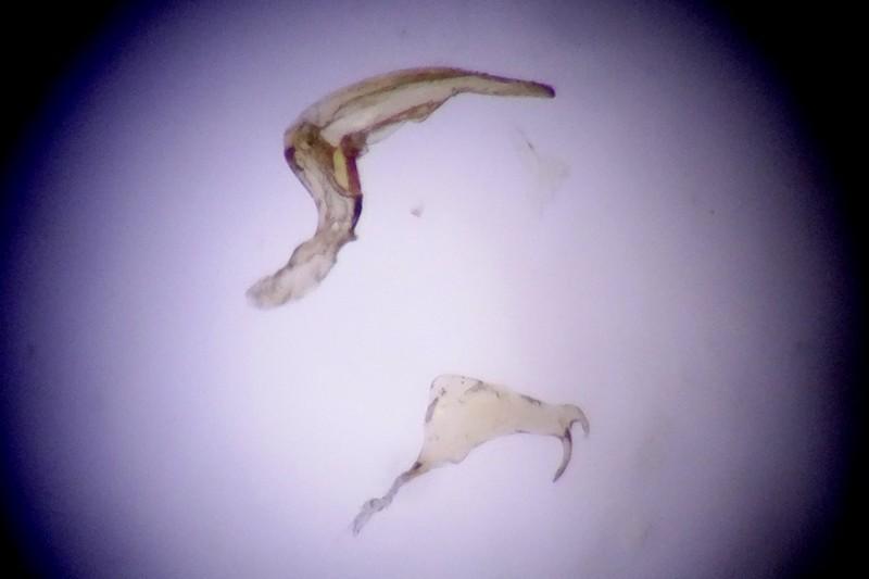 [Sigara stagnalis] Une corixidae halophile Sigara12