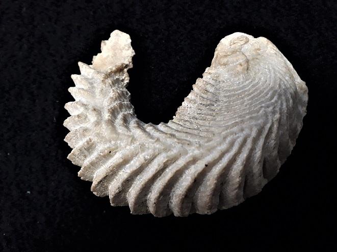 Bivalve fossile a identifier ?   20190710