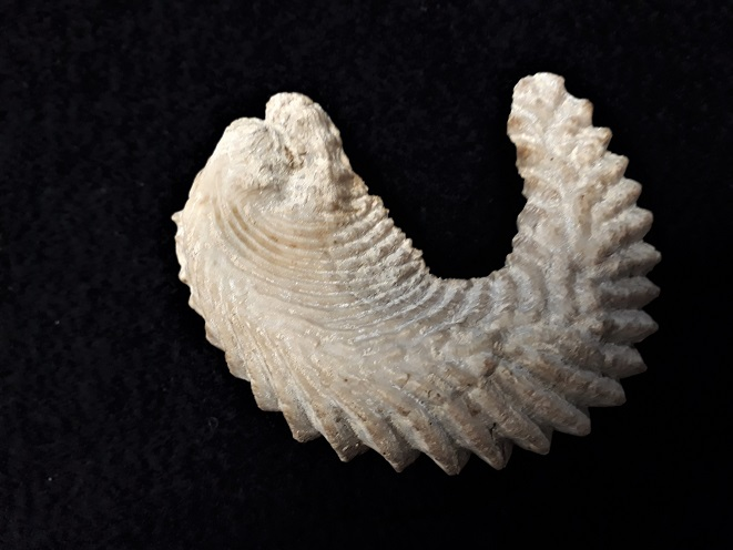 Bivalve fossile a identifier ?   20190711