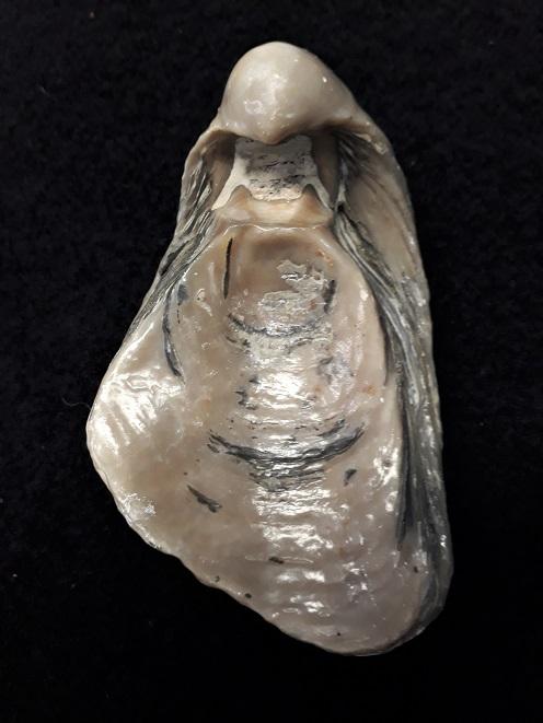 Gryphaeidae - Gryphaea dilatata Sowerby, 1816 20190714