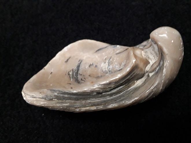 Gryphaeidae - Gryphaea dilatata Sowerby, 1816 20190716