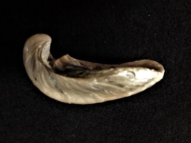 Gryphaeidae - Gryphaea dilatata Sowerby, 1816 20190717
