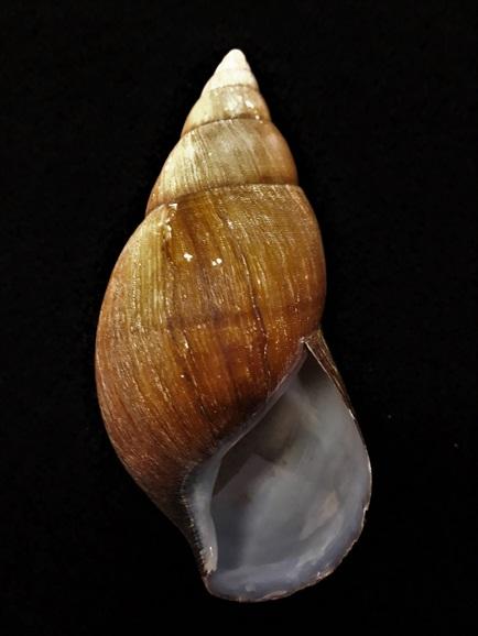 Achatina iostoma (Pfeiffer,1852) 20200810