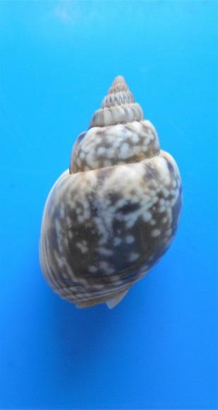 Nassarius graphiterus - (Hombron & Jacquinot, 1848) Dscn2110