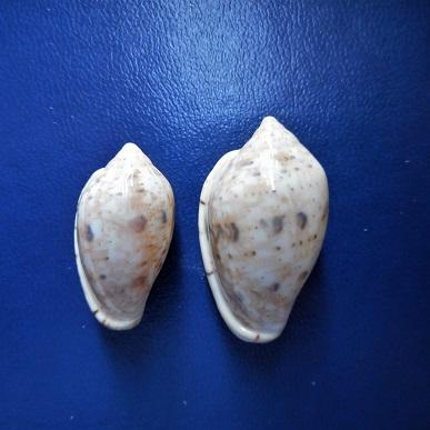 Marginella petitii ou senegalensis ? Dscn2215