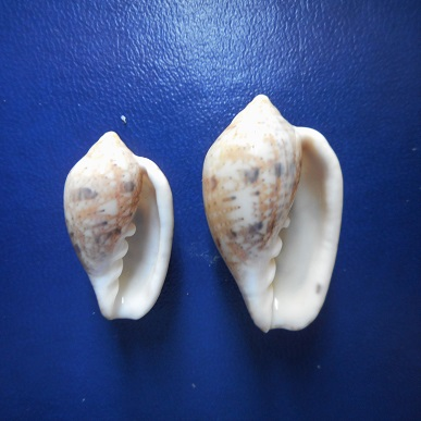 Marginella petitii ou senegalensis ? Dscn2216