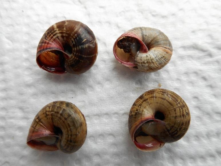 Cernuella virgata Da Costa, 1778 Dscn2420