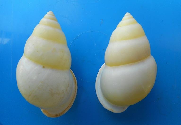 Amphidromus atricallosus (Gould, 1843) Dscn2610