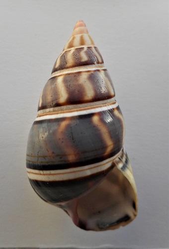 Liguus fasciatus goodrichi Clench, 1934  Dscn2926