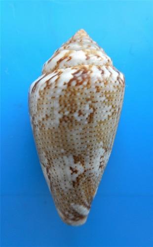 Conus (Lautoconus ) senegalensis  Gulden, Moolenbeek & Goud, 2017 Dscn3010