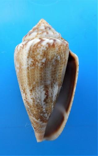 Conus (Lautoconus ) senegalensis  Gulden, Moolenbeek & Goud, 2017 Dscn3011
