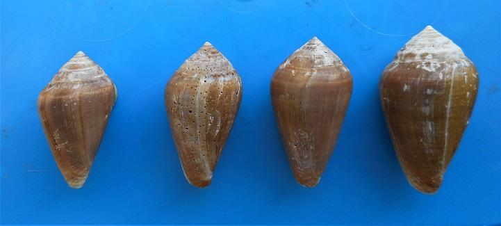 Conus (Lautoconus) unifasciatus Kiener, L.C., 1845 Dscn3016
