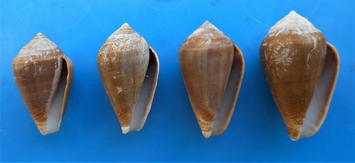 Conus (Lautoconus) unifasciatus Kiener, L.C., 1845 Dscn3017