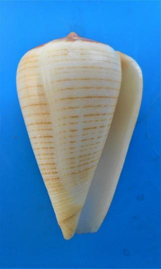 Conus (Dendroconus) figulinus (Linnaeus ,1758)  jaune  Dscn3019