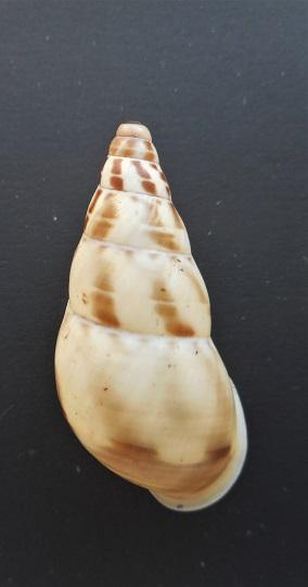 Amphidromus iunior  Cilia, 2013 Dscn3112