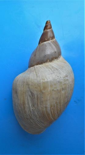 Lymnaea stagnalis  (Linnaeus , 1758) Dscn3210