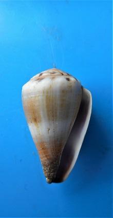 Kioconus (Nitidoconus) parvulus meyeri (Walls, 1979) Dscn3311