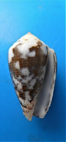 Conus (Pionoconus) striolatus  (Kiener, 1848) - Page 2 Dscn3321