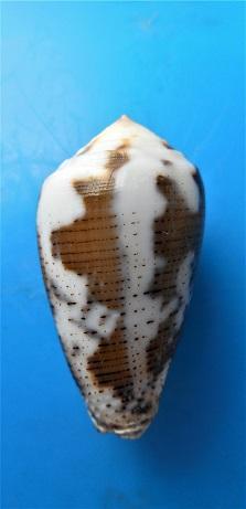 Conus (Pionoconus) striolatus  (Kiener, 1848) - Page 2 Dscn3322
