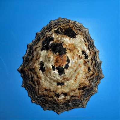 Cymbula granatina - (Linnaeus, 1758) Dscn3431