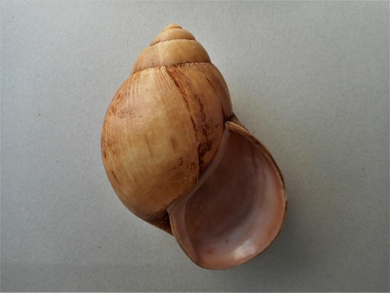 Burtoa nilotica (Pfeiffer, 1861) ? Dscn3814