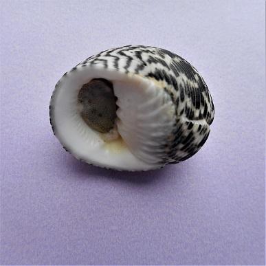 Nerita striata - Burrow, 1815 Dscn4311