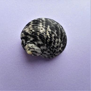 Nerita striata - Burrow, 1815 Dscn4312