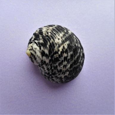 Nerita striata - Burrow, 1815 Dscn4313