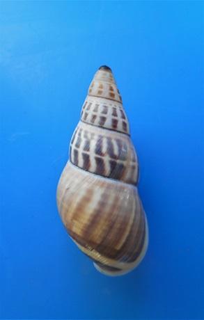 Amphidromus timorensis  Parsons & Abbas,2020  Dscn4511