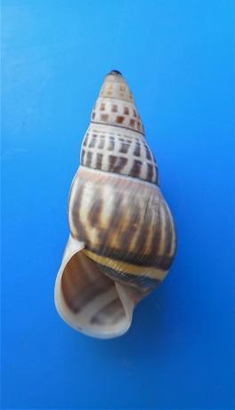 Amphidromus timorensis  Parsons & Abbas,2020  Dscn4512