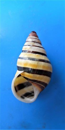 Amphidromus laevus kissuensis - (Rolle, 1903) Dscn5017