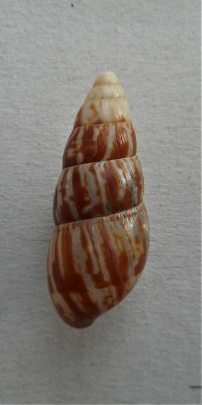 Limicolaria  karagwensis (Kobelt,1913) Dscn5313