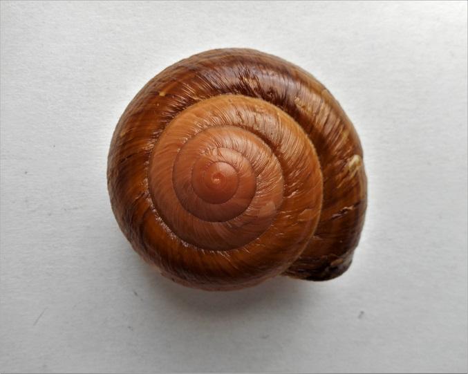 Pararyssota maxima (Pfeiffer,1853) Dscn5315