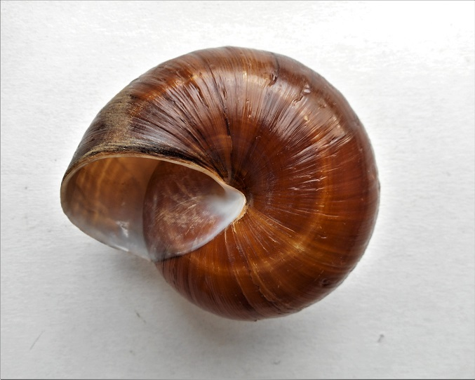Pararyssota maxima (Pfeiffer,1853) Dscn5317