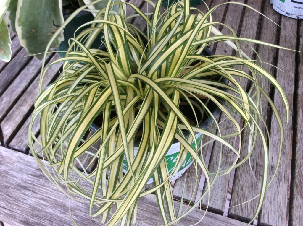 Identification de ce Carex svp résolu Evergold Baac5710