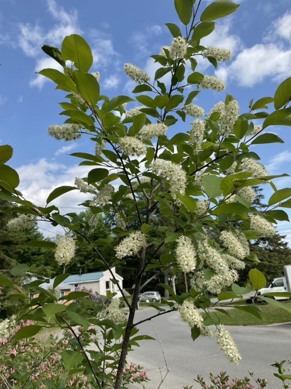 C'est quoi svp réglé Prunus Virginiana  E8711d10