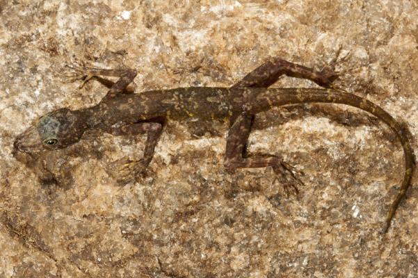 Gecko dia de sispara 0217_n10