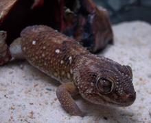 gecko de tierra gigante común 220px-10