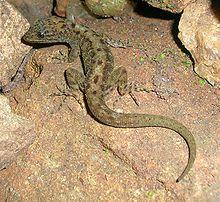 gecko de roca de Kumpol 220px-16